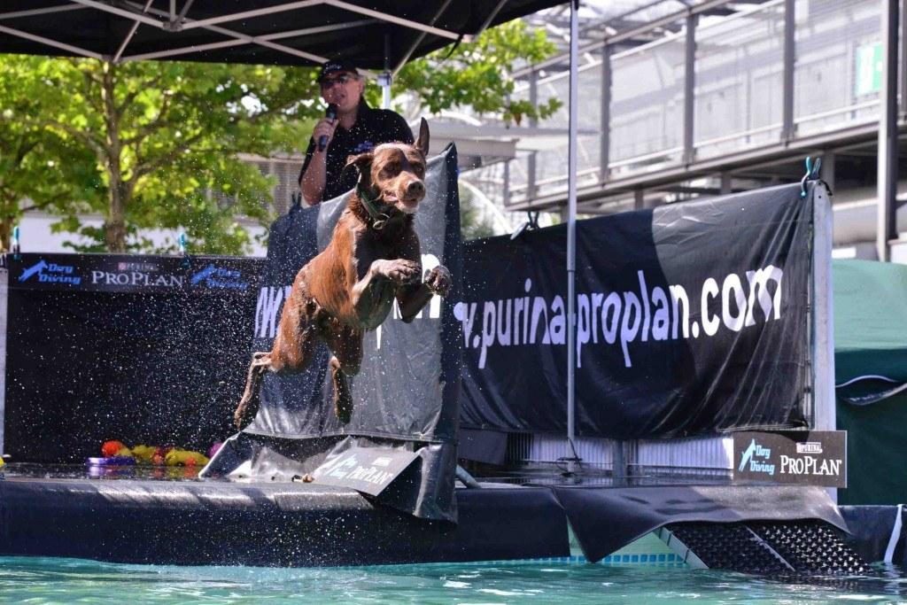 Hund, der in ein Wasserbecken springt